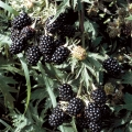 Blackberry 'Oregon Thornless'